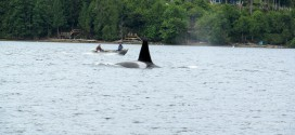 Editorial: What the orcas need