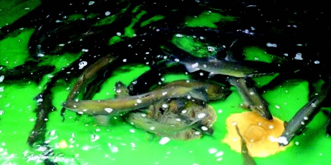 Volunteers key to helping Coast salmon