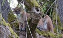 Cougar sightings reported in Gibsons area