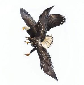 P 5 eagle pic