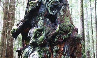 Coast's Gnarliest Tree photo contest