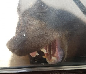 P 3 A hungry bear pic 1