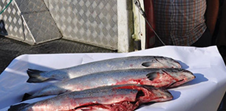 Shíshálh capture invasive Atlantic salmon