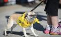 dog pavement pug