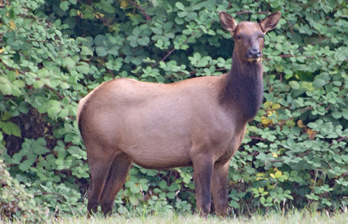 Forest District fails to help elk, study claims